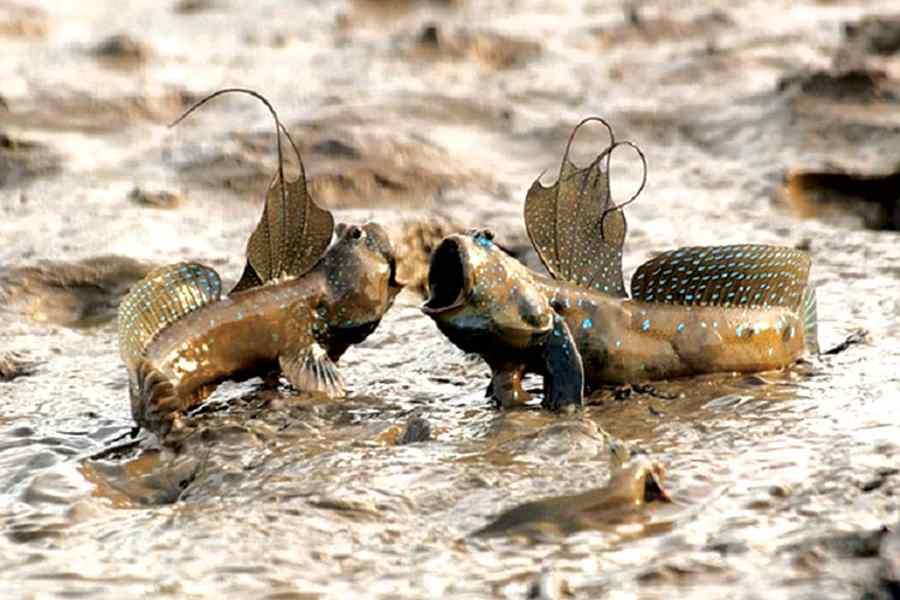 ডাঙার মাছ মাডস্কিপার